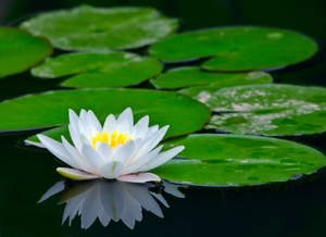 Lotus Flower On Pond Image
